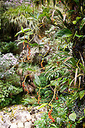 Wild pepper, Mesilau Nature Resort, Kinabalu National Park, Sabah