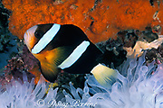 Clark's anemonefish, yellowtail clownfish, or brown anemone fish, Amphiprion clarkii, in sea anemone, <br /> Entacmea quadricolor, bleached wjote by warm water during<br /> El Nino, Sipadan Island, off Borneo, Sabah, Malaysia<br /> ( Celebes Sea / Western Pacific Ocean )