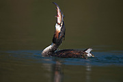 Great crested grebe swimming on a pond with fish held in it's beak , Podiceps cristatus, UK