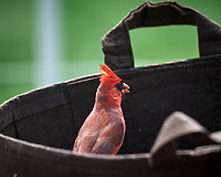 Northern Cardinal. Image taken with a Nikon D5 camera and 600 mm f/4 VR telephoto lens.