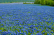 Acres of bluebonnets, our beloved Texas state flower, Whitehall, Texas