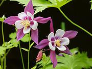 Columbine cultivar blooming in Randi and Fred Hirschmann's perennial garden, Matanuska Valley, Alaska.
