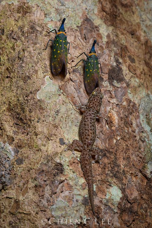 Four-clawed Gecko (Gehyra mutilata) attending a lanternfly (Pyrops whiteheadi) for secreted honeydew. Host tree is Pometia pinnata. Sabah, Malaysia (Borneo).