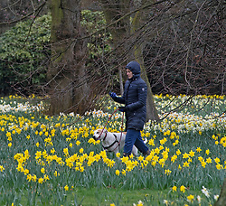 ©Licensed to London News Pictures 03/03/2020<br /> Greenwich, UK. Daffodils in Greenwich park. A cold weather day at Greenwich Park, Greenwich, London. Photo credit: Grant Falvey/LNP