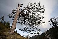 Greece, Pindos Mountains, Pindos NP, Valia Calda, Pine tree in Valia Calda,