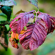 To me the beauty of these leaves is in their flaws.  Judging by the ragged edges, an insect who enjoyed a meal there.