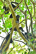 A group of Mantled Howler monkeys (Alouatta palliata) sleeping in the tree canopy of Manuel Antonio National Park, one of the smallest and most visited parks in Costa Rica.