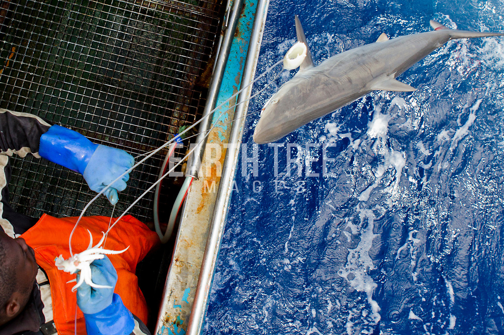 Crew from the spanish longliner, Hermanos Labaen A Guarda pulls in a silky shark (   in the Mozambique channel, 21st September 2012. The unregulated plunder of the Indian Ocean is a crisis Greenpeace is exploring. Greenpeace's ship, the Rainbow Warrior, is on a mission in the Indian Ocean to expose overfishing and to highlight the problems associated with excessive tuna fishing, unsustainable or illegal fishing practices, the lack of law enforcement, and the need for countries to cooperate and ensure that communities benefit from the wealth of their oceans in future. From 7 to 23 of September the Rainbow Warrior is sailing in Mozambican waters with fisheries enforcement officials on board in order to carry out joint surveillance and expose cases of illegal fishery. Photo: Paul Hilton / Greenpeace Over 100 million sharks are killed each year for the fin trade. Hong Kong, Singapore and China are the biggest consumers of shark fin globally. Indonesia is the biggest exported of shark fins annually. Photo: Paul Hilton for Earth Tree Images