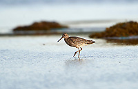 Willet (Catoptrophorus semipalmatus) feeding on mud flats, , Nova Scotia, Canada