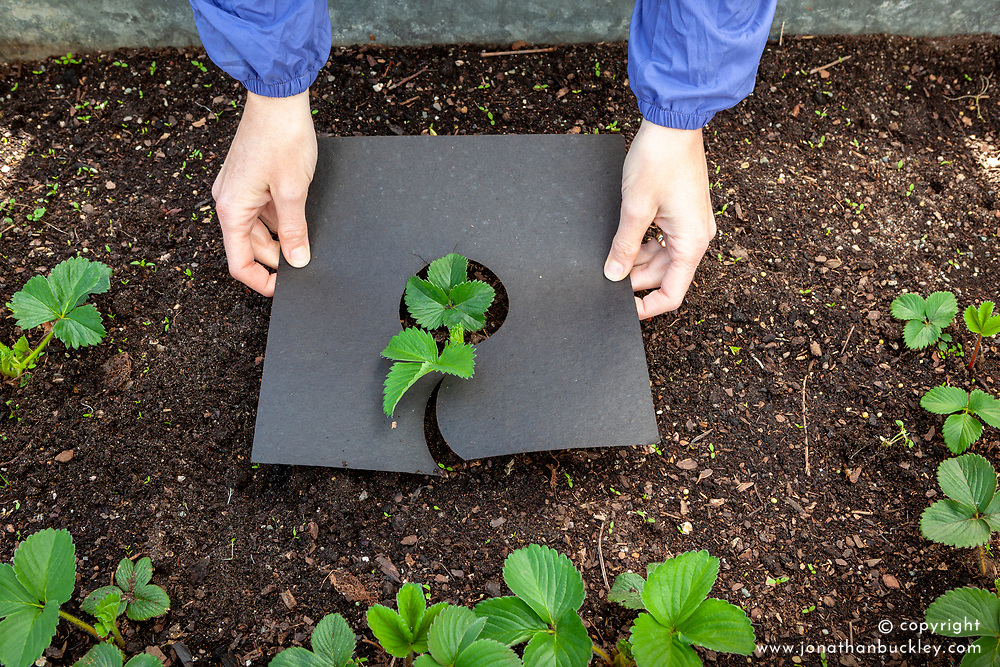 Putting mulch mats under strawberries to protect from slugs and snails, keep fruit clean and retain moisture