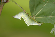 Maple Prominent - Ptilodon cucullina<br /> larva