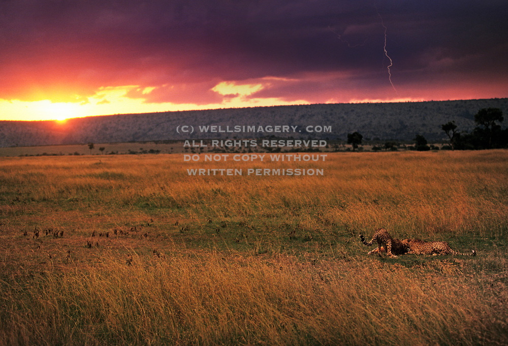 Image of a cheetah kill during a storm at the Masai Mara National Reserve in Kenya, Africa by Randy Wells