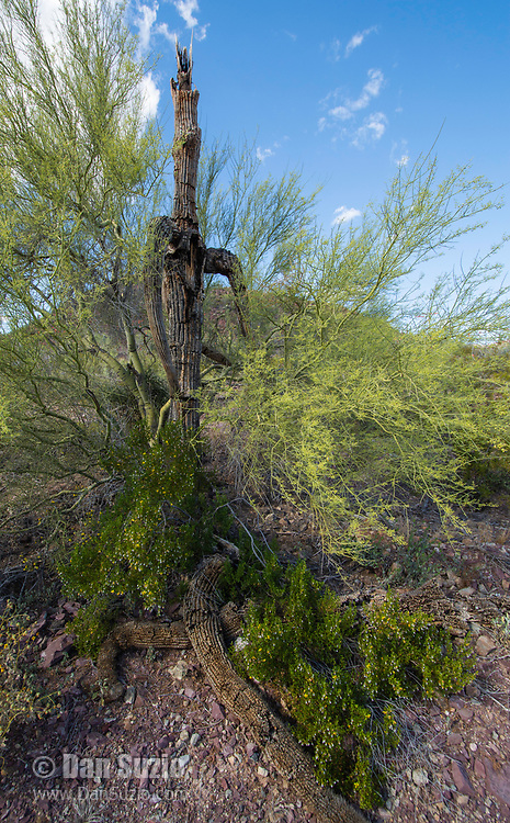 A Paloverde, Cercidium sp., and a Creosote bush, Larrea tridentata, grow around an old Saguaro cactus, Carnegiea gigantea, in Saguaro National Park, Arizona