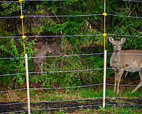 Deer outside the electric fence.  Image taken with a Fuji X-T2 camera and 100-400 mm OIS lens (ISO 1600, 100 mm, f/6.4, 1/35 sec)