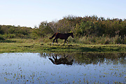 Horse walking through a feild grassland with water and reflection in foreground. Working Gaucho Fazenda in Rio Grande do Sul, Brazil.