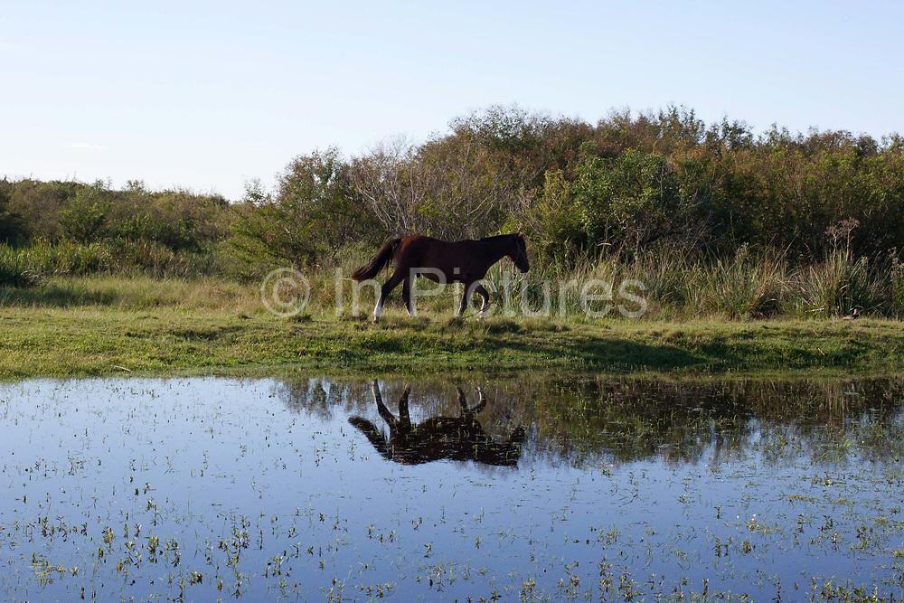 Horse walking through a feild grassland with water and reflection in foreground. Working Gaucho Fazenda in Rio Grande do Sul, Brazil.