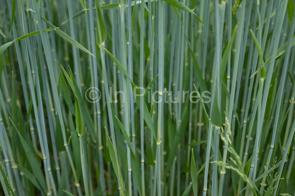 Barley stems in a field on agricultural farmland in Shropshire on 6th June 2021 in Ludlow, United Kingdom. Barley, a member of the grass family, is a major cereal grain grown in temperate climates globally. It was one of the first cultivated grains, particularly in Eurasia as early as 10,000 years ago.