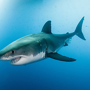 A great white shark (Carcharodon carcharias) deep underwater off Guadalupe Island, Mexico
