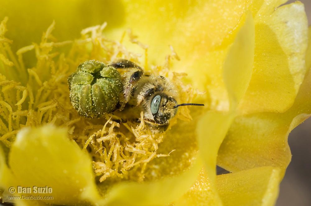 Leafcutter bee, Lithurgus sp., on flower of Engelmann's prickly pear, Opuntia phaeacantha discata. Saguaro National Park, Arizona