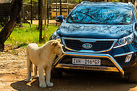 White lion cub in front of a tourist's car, Lion Park, near Johannesburg, South Africa.