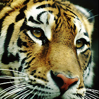 Siberian tiger in captivity in Moscow Zoo.  Accession #: 0.94.279.001.04