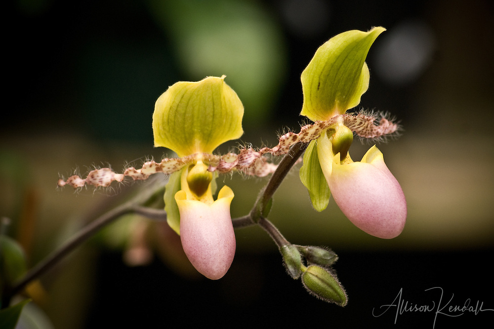 A pair of unusual flowers, these lady slipper orchids have hairy fuzz along their petals