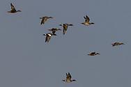 Vliegende smienten boven bevroren Waddenzee bij Zwarte Haan