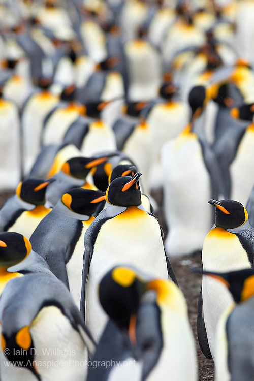 King penguins maintain social hierarchies when living close together within a colony