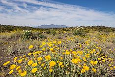 Big Bend Wildflowers