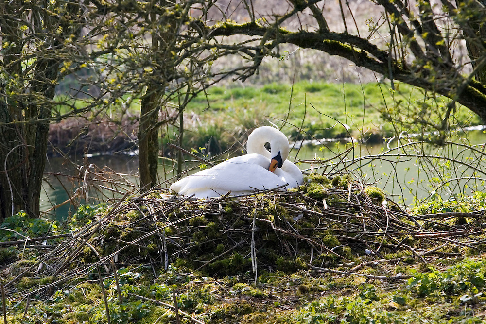Female mute swan preening on nest in middle of pond, Donnington, Gloucestershire, The Cotswolds, England, United Kingdom