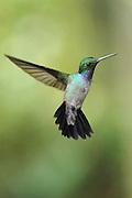 """""""Volando entre ríos, selvas y montañas.<br /> <br /> Entre el azahar y el rocío de tus mañanas.<br /> <br /> Nuestros sueños desprendidos de las nubes en aquellas noches de primavera"""".<br /> <br /> Amalia / colibríes de Panamá.<br /> <br /> Amazalia Pechiazul.<br /> <br /> Blue-chested Hummingbird.<br /> <br /> Amazalia amabilis.<br /> <br /> Edición de 25   Víctor Santamaría."""
