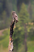 A great grey owl (Strix nebulosa) looks for food from its perch on a burnt snag in the Blue Mountains of Washington state. The great grey owl, also spelled great gray owl, is the world's largest owl by length.