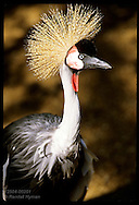 Crowned crane at the St. Louis Zoo.  Missouri