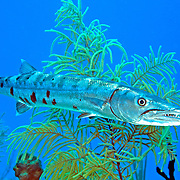 Great Baracuda reefs and nearby areas in Tropical West Atlantic, also nearly circumtropical; picture taken San Salvador, Bahamas.