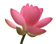 Image of a lotus flower