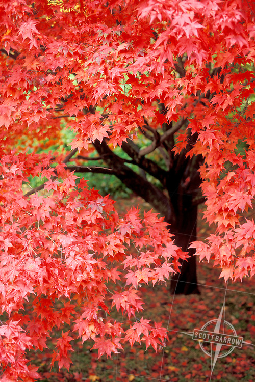 Bright red japanese maple fall foliage