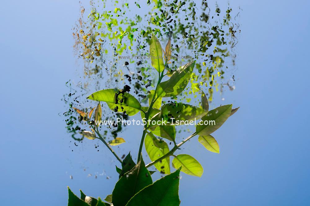 Digitally enhanced image of Green Lemon tree leaves on a blue sky background