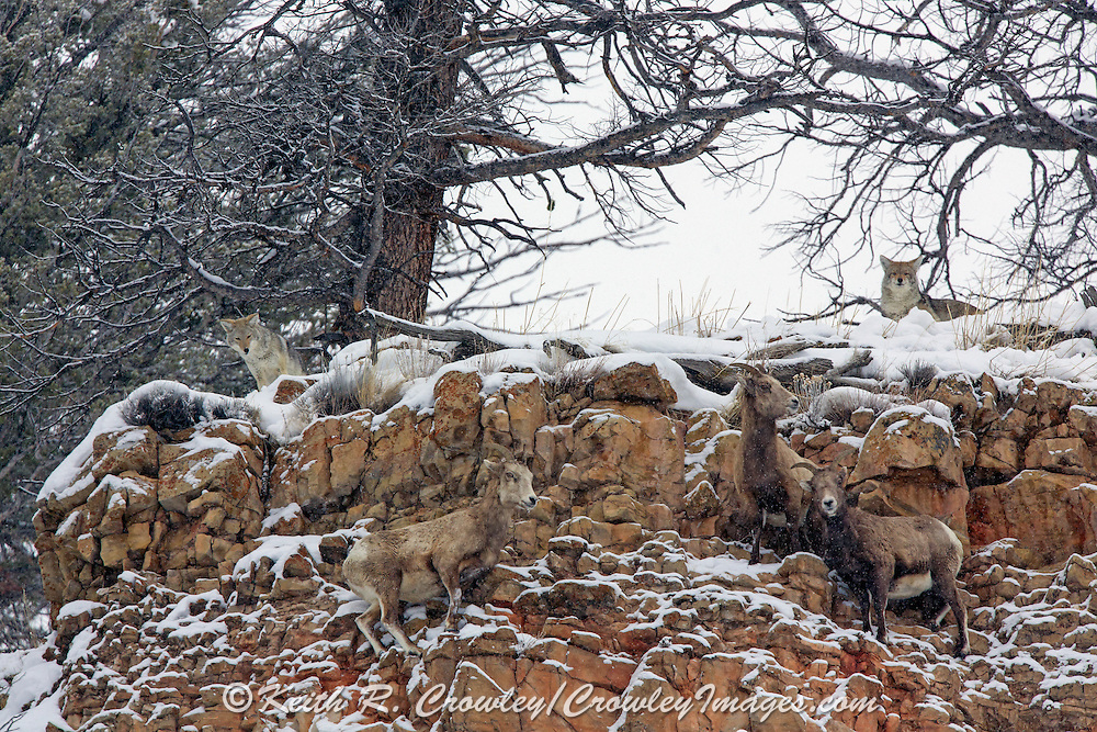 Coyotes attempt to prey on bighorn ewes in the Rocky Mountains