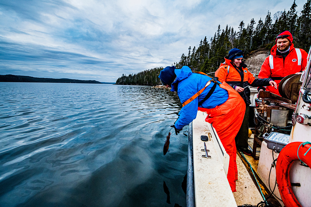 A scientist with the Department of Fisheries and Oceans Canada (DFO) releases a juvenile Atlantic cod (Gadus morhua) after tagging the fish off Newfoundland, Canada.