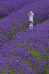 North America, United States, Washington, Sequim, whimsical birdhouse in field with rows of lavnder at Lavender Festival, held annually each July