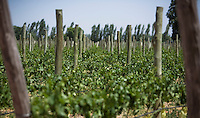 Malbec grapevines at Bodega Melipal in the Luján de Cuyo area of Mendoza, Argentina.
