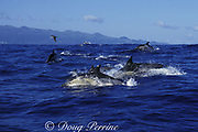 common dolphins, Delphinus delphis, porpoising out of the water, Pico Island, Azores Islands, Portugal ( North Atlantic Ocean )