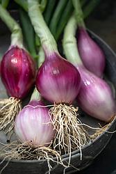 Shallot 'Griselle' - Allium oschaninii