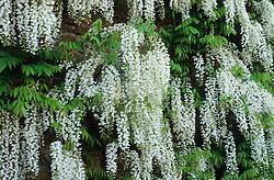 Wisteria floribunda 'Alba'