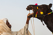 Rajusthani pastoralist changing a nose ring in a camel - Pushkar camel and livestock fair which takes place in the Hindu month of Kartik (October / November) ten days after Diwali (Festival of Lights). Pushkar has always been the the region's main market for herdsman and farmers buying and selling camels, horses, indigenous breeds of cattle and even elephants. Over the years this annual trading event has increased in volume to become one of the largest in Asia. Temporary tents and campsites suddenly appear to accomodate the thousands of pilgrims, villagers and tourists. Entertainers and contests abound and a festive funfair atmosphere prevails over Pushkar during the Mela's 2 week duration. Thousands of men come first with their camels, horses and cattle and camp on the dunes to transact business. 3 days before the full moon the women arrive beautifully attired. The town of Pushkar is one of the holiest centers of Hinduism and houses one of the few Brahma Temples in India. It is one of the 5 essential pilgrimage centers which a Hindu must visit in his lifetime along with Badrinath, Puri, Rameshwaram and Dwarka. The 12 day fair culminates in a religious Hindu pilgrimage and reaches a crescendo on the night of the full moon (Purnima) when pilgrims take a dip in the holy lake.  <br /> Pushkar, Rajasthan. INDIA