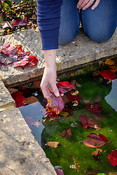Clearing fallen leaves from a pond in autumn