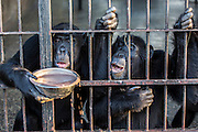 Chimps enjoy their evening meal of porridge at the Ngamba Island Chimpanzee Sanctuary in Lake Victoria, Uganda. While the chimps forage for food all day in the forest, their food is supplemented at the sanctuary's feeding station. 03/15 Julia Cumes/IFAW