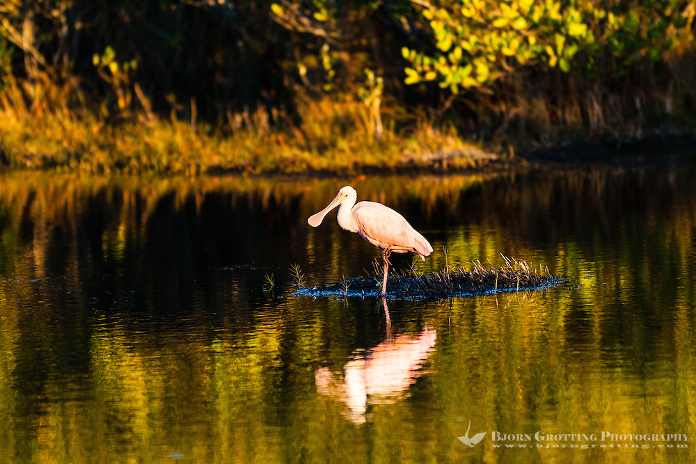 US, Florida, Merritt Island National Wildlife Refuge, Black Point Wildlife Drive. Roseate Spoonbill.