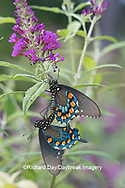 03004-01506 Pipevine Swallowtail (Battus philenor) male and female mating on Butterfly Bush (Buddleja davidii) Marion Co. IL