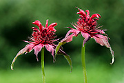 Close-up of two flower spikes of Bergamot (Monarda 'Adam') growing in West Acre Gardens in Norfolk